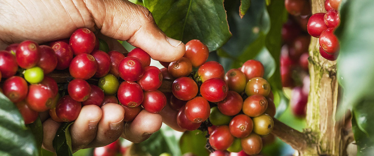 Read more about the article Why is Jamaican Joe (Blue Mountain Coffee) So Good?